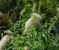 Buddleia sp   blanc.JPG