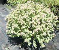 Origanum rotundifolia 'Dingle Farly'.JPG