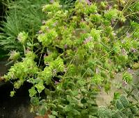 Origanum rotundifolia 'Kent Beauty'.jpg