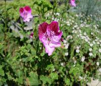 pelargonium 'Tip Top'.JPG